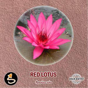 Red Lotus Pulver 10g