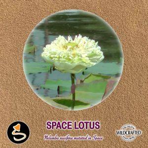 Space Lotus Pulver 10g