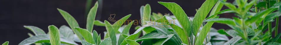 Salvia Divinorum kaufen